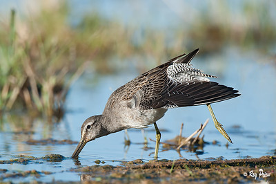 Long-billed Dowitcher,  Gilbert Water Ranch, Gilbert,Arizona,