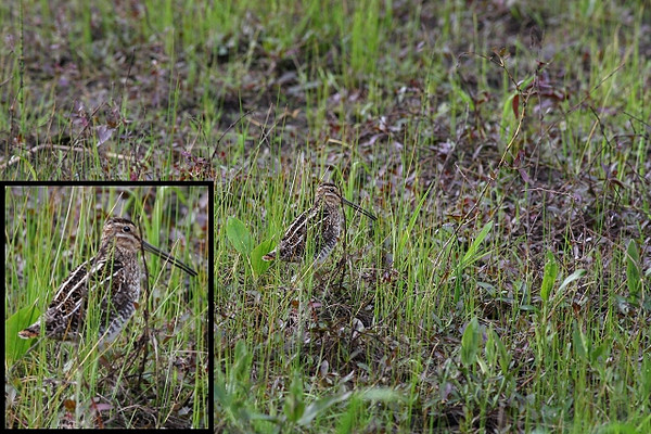Snipe Chattering in Cover<br /> <br /> Ridgefield NWR, WA, late spring 2009<br /> <br /> Good habitat and behavior shot typical for these birds.  These birds have beautiful and effective markings which allow them to blend right in with their typical surroundings (as can be seen in these photos).  The insets are provided to show more detail of the bird from the original image.