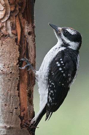 Hairy Woodpecker Juvenile