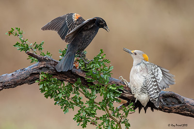 Golden-fronted Woodpecker, Red-winged Blackbird, Texas