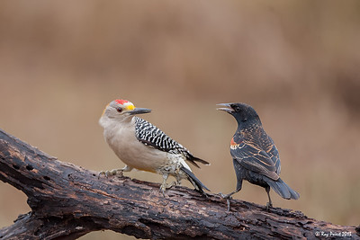 Golden-fronted Woodpecker, Red-winded Blackbird, Texas