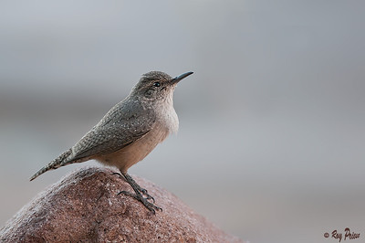 Rock Wren, Arizona, Queen's Creek