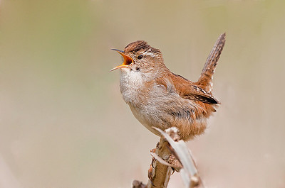 Singing Marsh Wren Riefel Refuge