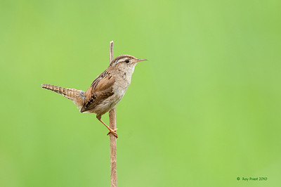 Marsh Wren Serpentine Fen, B.C. This is a composite image