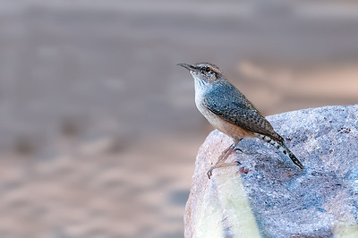 Rock Wren,  Queen's Creek, Arizona