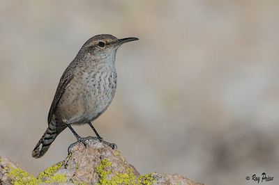 Rock Wren Boyce Thompson Arboretum Arizona