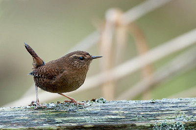 Winter Wren Alasken, B.C.