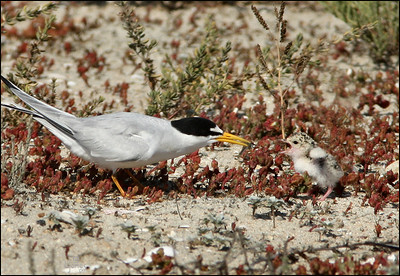 Baby Tern is upset because adult won't feed it, and took the fish to the others in the nest.