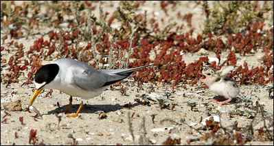 Baby Tern throwing a fit because parent won't feed him.
