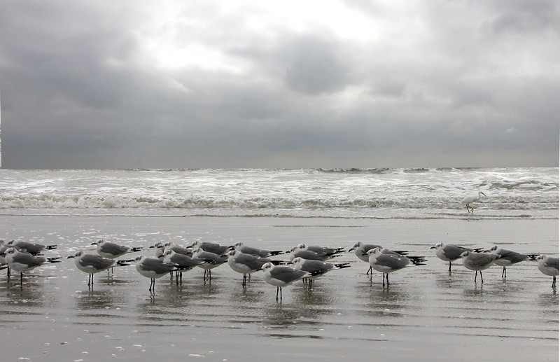 Seagulls in Galveston.<br /> If you look closely, above the line of seagulls is another guy heading to the right