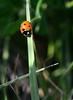 Ladybug, ladybug