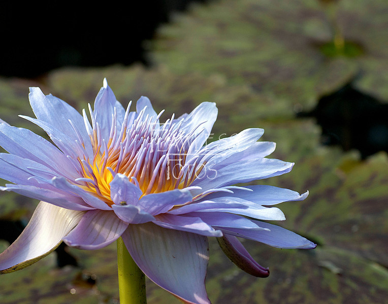 """Water Lily"""