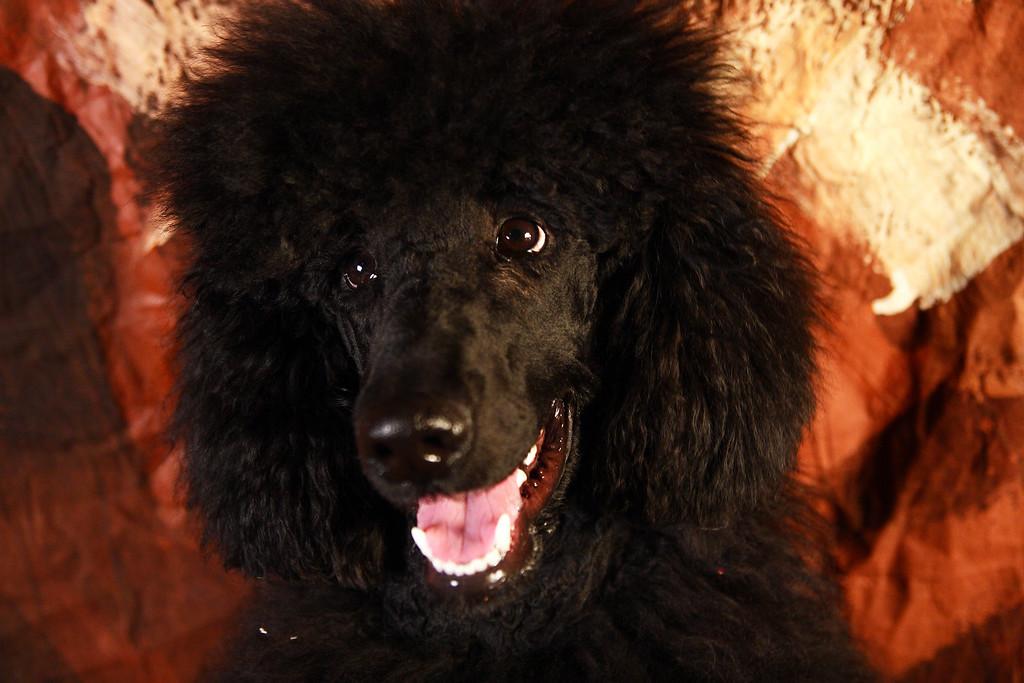PHANTOM, Standard Poodle