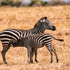 Zebras in Tanzania, Nature, Wildlife, Basic, 2nd Place, 9/20/16