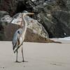 Great Blue Heron, N4C, Nature, Basic, 7/16/16