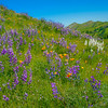 Arroyo & White Lupine & California Poppy
