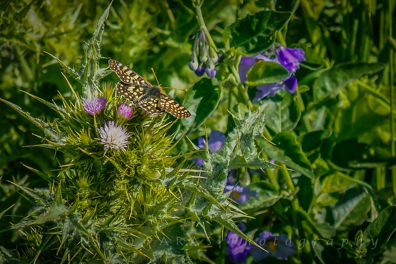 Milkweed Thistle & Checkerspot Butterfly