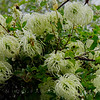 Western Clematis - Clematis ligusticifolia