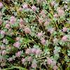 Rose Clover (Trifolum hirtum)