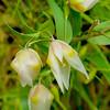 White Fairy Lantern-Calochortus albus
