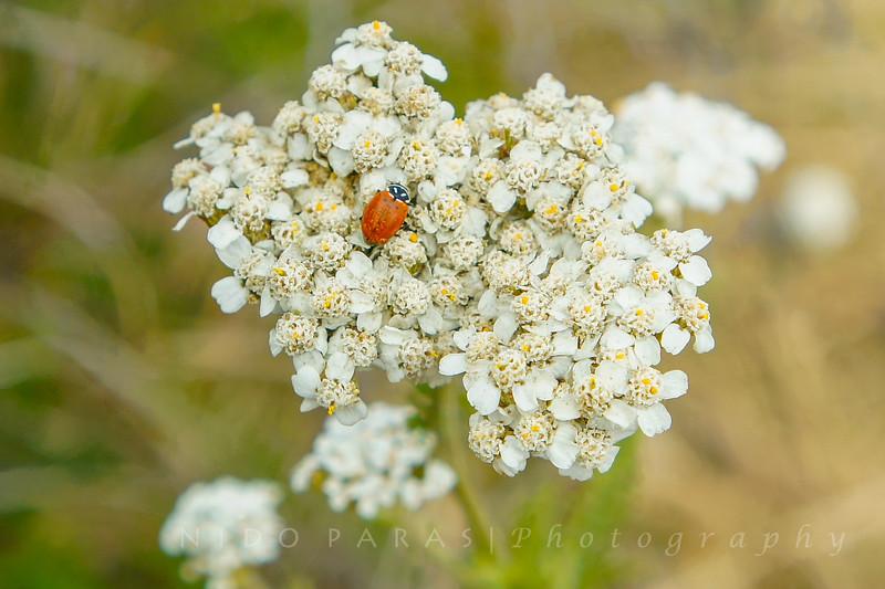 Common Yarrow-Achillea millefolium