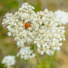 Common Yarrow-Achillea millefolium