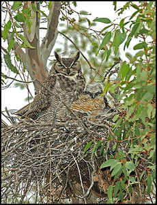 Great horned owl. Lake Jennings. California.