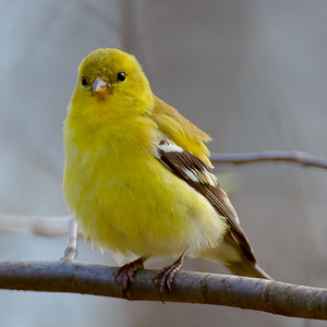 ADOLESCENT AMERICAN GOLDFINCH