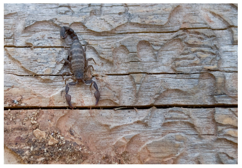 Black scorpion. Sacramento CA. 2009 <br />  Only 3/8 in size. But it can take down a grown man with one sting.