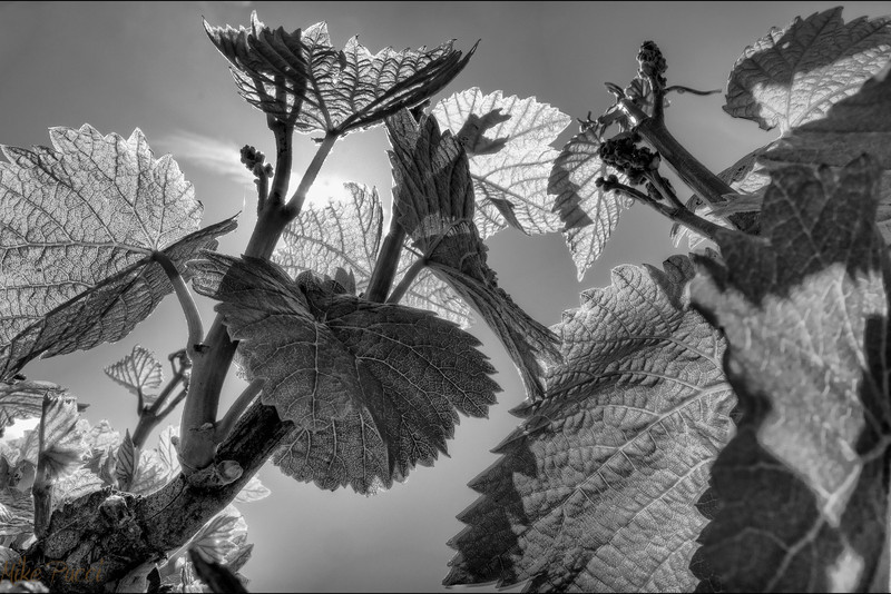 Springtime Vines
