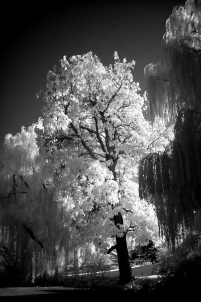 Willows and Friend (Infrared)