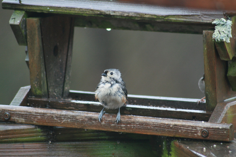 A Very Wet Tufted Titmouse