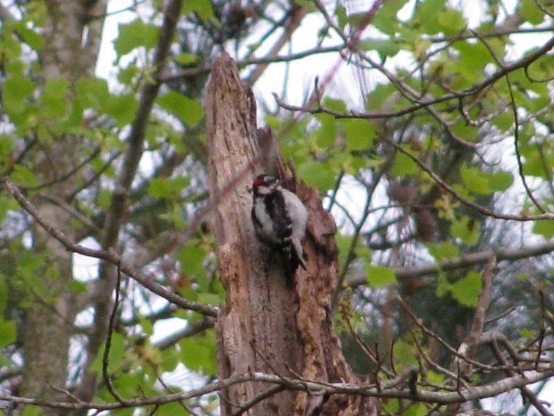 Downy Woodpecker #3