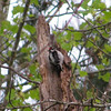 Downy Woodpecker #3