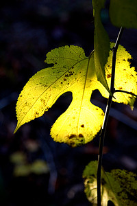 This backlight leaf was in our back yard on Nov. 4, 2006.