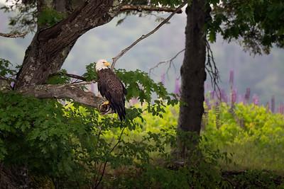 #1227 Bald Eagle and Lupine