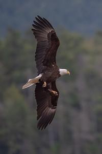 #1626 Bald Eagle
