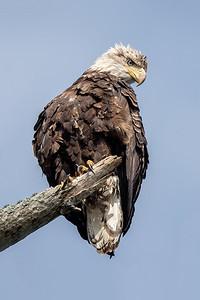 #1530 Bald Eagle