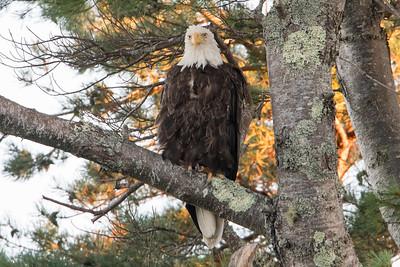 #656 Bald Eagle