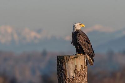 #1153 Bald Eagle