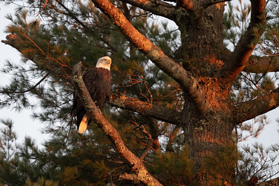 #1533 Bald Eagle