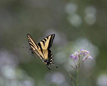 Western Tiger Swallowtail 5-11-17