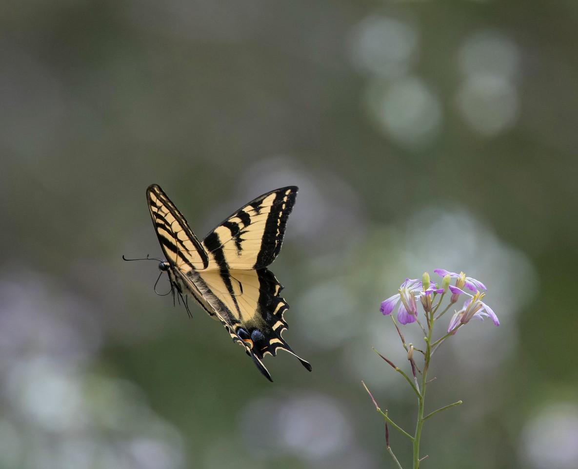 Western Tiger Swallowtail 5-11-17