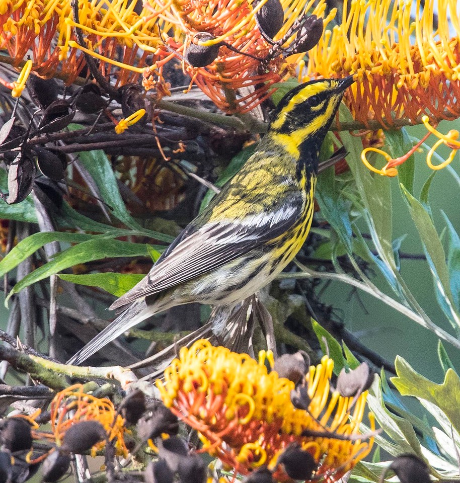 Townsend's Warbler 5-17-15 Pt. Loma