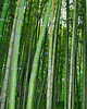Bamboo vert