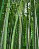 Bamboo vert4