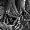 Cypress Tree Roots