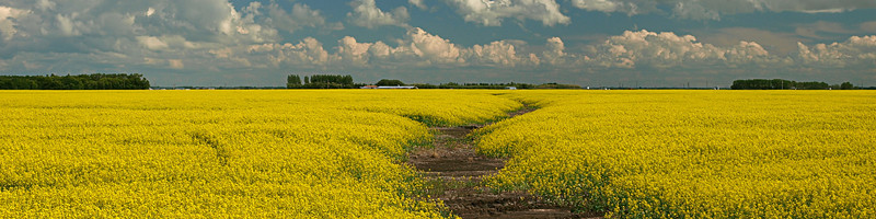 Canola brings such colour to the Prairie landscape.... it's so pretty but not very beneficial in so many ways. At least it puts more money in our farmers' pockets, but that's really the only advantage, other than the photo op, of course.... :)