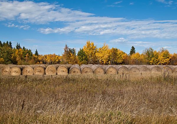 Bales in autumn, in a line