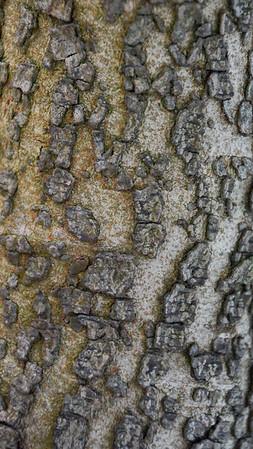 Mastic Tree (Greece)